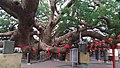 澤民樟公樹.jpg