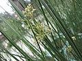燈心草 Juncus effusus v decipiens -香港花展 Hong Kong Flower Show- (9229895870).jpg