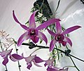 石斛蘭 Dendrobium Betty Goto -香港青松觀蘭花展 Tuen Mun, Hong Kong- (9198102693).jpg