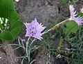 石竹屬 Dianthus graniticus -波蘭華沙 Powsin PAN Botanical Garden, Warsaw- (36645982665).jpg