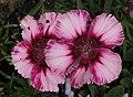 石竹 Dianthus chinensis Raspberry Parfait -香港馬灣公園 Ma Wan Park, Hong Kong- (9255188056).jpg