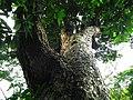 老樹 Old Tree - panoramio (1).jpg