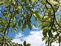 葉っぱ - panoramio.jpg