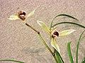 蓮瓣心心相印 Cymbidium lianpan 'Heart on Heart' -香港沙田國蘭展 Shatin Orchid Show, Hong Kong- (12712611045).jpg