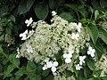 藤繡球 Hydrangea petiolaris -維也納高山植物園 Belvedere Alpine Garden, Vienna- (28643201083).jpg