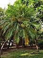 軟葉刺葵 Phoenix roebelenii 20201013101916 01.jpg