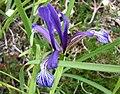 鳶尾屬 Iris sintenisii -哥本哈根大學植物園 Copenhagen University Botanical Garden- (36268904053).jpg