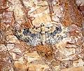 -1817- Foxglove Pug (Eupithecia pulchellata) (41447779860).jpg
