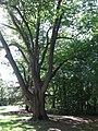 011 Rideau Hall (Ottawa), arbre monumental.jpg