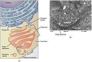 Golgi apparatus - The Golgi apparatus (salmon pink) in context of the secretory pathway.