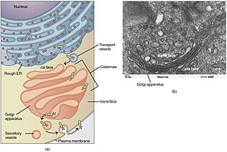 Golgi apparatus - The Golgi apparatus (salmon pink) in context of the secretory pathway.