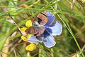 0 Argus bleu ♀ & ♂ - Polyommatus icarus - Boussu-lez-Walcourt (1).JPG