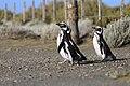 144 - Cap Virgenes - Manchot de Magellan - Janvier 2010.JPG