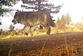 151208 Silver Lake wolf (23996545119).jpg