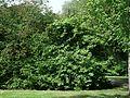 1560-Viburnum prunifolium-DZ-8.12.JPG