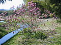 20040413 Magnolia liliiflora nigra.jpg