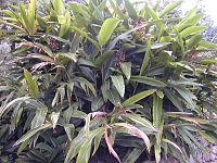 200410 Alpinia zerumbet 2