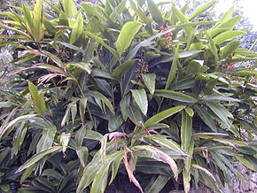 Description de l'image 200410 Alpinia zerumbet 2.JPG.