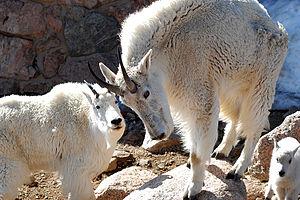 Mount Evans - Mt Evans - mountain goats