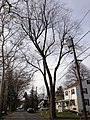 2014-12-30 12 54 21 Silver Maple and utility pole on King Avenue in Ewing, New Jersey.JPG