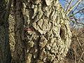 20140209Sambucus nigra08.jpg