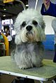 2014 Westminster Kennel Club Dog Show (12486536403).jpg