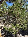 2015-07-13 15 03 56 Limber Pine foliage along the North Loop Trail about 7.4 miles west of the trailhead in the Mount Charleston Wilderness, Nevada.jpg