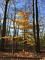 2015-11-15 09 34 30 American Beech sapling during autumn in the woodlands along the West Branch Shabakunk Creek in Ewing, New Jersey.jpg