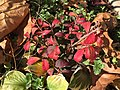 2015-12-07 11 15 07 Euonymus alatus foliage during late autumn along Tranquility Court in the Franklin Farm section of Oak Hill, Fairfax County, Virginia.jpg