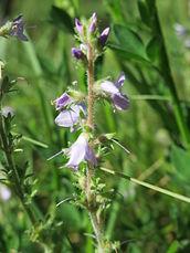 20150604Veronica officinalis2.jpg