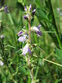 20150604Veronica officinalis2.jpg