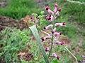 20160614Fumaria officinalis1.jpg