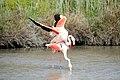20170425 143 Camargue Flamingo (34079057690).jpg