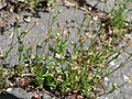 20170522Arenaria serpyllifolia3.jpg