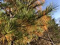 2018-11-17 14 27 15 Loblolly Pine undergoing old needle abscission in late autumn along a walking path in the Franklin Farm section of Oak Hill, Fairfax County, Virginia.jpg