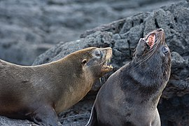 20180808-Galápagos fur seal-12 at Santiago (9797).jpg