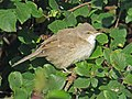 2019-10-16 Barred Warbler, St Mary's Island, Northumberland 1.jpg