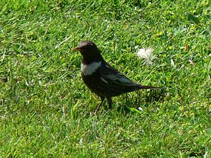 English: Ring Ouzel, male, Jeseniky mountains ...
