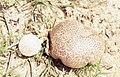 2 puffballs. Ojen valley. Southwest Spain (37708370876).jpg