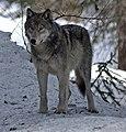 4-10-12-wolf-1 (cropped).jpg