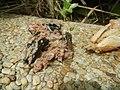 4300Ants of the Philippines Common houseflies 10.jpg