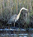 48 Great Blue Heron Bennetts Point RD Green Pond SC 6876 (12397860535).jpg