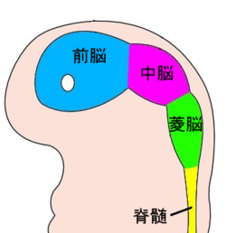 4 week embryo brain japanese.png