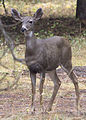 5216 black-tailed doe swingle odfw (8122824498).jpg