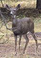 5216 black-tailed doe swingle odfw (8122824498).jpg
