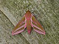 69.016 BF1991 Elephant Hawk-moth, Deilephila elpenor (3123099728).jpg