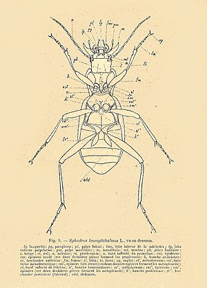 Alexandre Noël Charles Acloque - Drawing from Acloque's volume on beetles in A Fauna of France