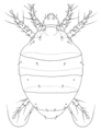 ACAR Tarsonemidae Polyphagotarsonemus latus.png