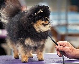 AKC Pomeranian Dog Show 2011.jpg