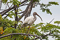 AMA AR PN COSTA03 SANTAY FAUNA White Ibis 021 (14200319933).jpg
